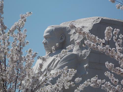 MLK Among the blossoms500